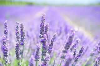 lavender-blossom-1595581-960-720-1382