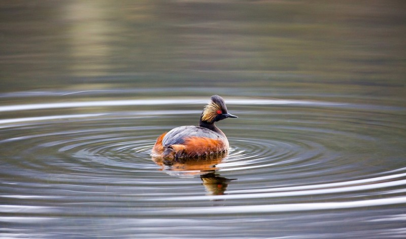 black-necked-grebe-1653255-960-720-818
