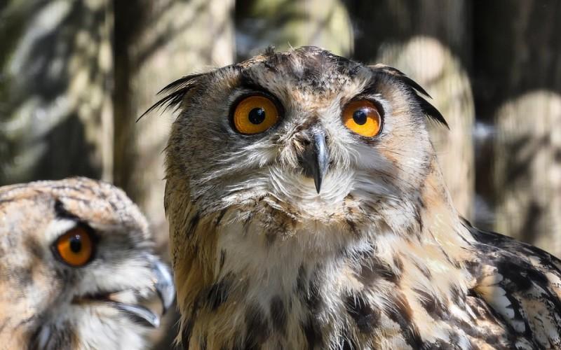owl-2653317-960-720-816