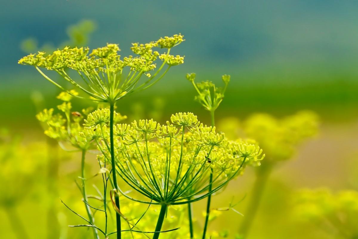 Halophilic plants